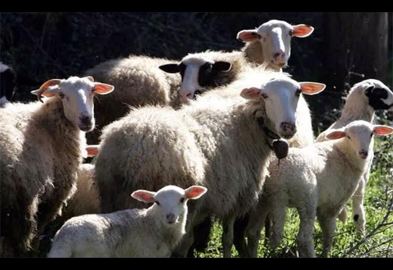 Θύματα των οικονομικών συνεπειών του κορωνοϊού έχουν πέσει και οι κτηνοτρόφοι της Μαγνησίας